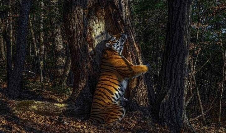 صورة لنمر آموري يعانق جذع شجرة في محمية ليوبارد الطبيعية في روسيا