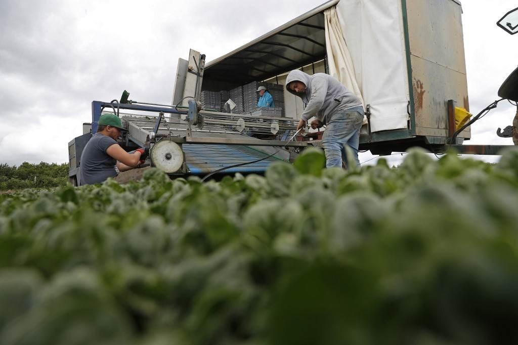 فريق الإغاثة الموسمية بالمملكة المتحدة يحصد السبانخ في الأراضي الزراعية (أ ف ب).