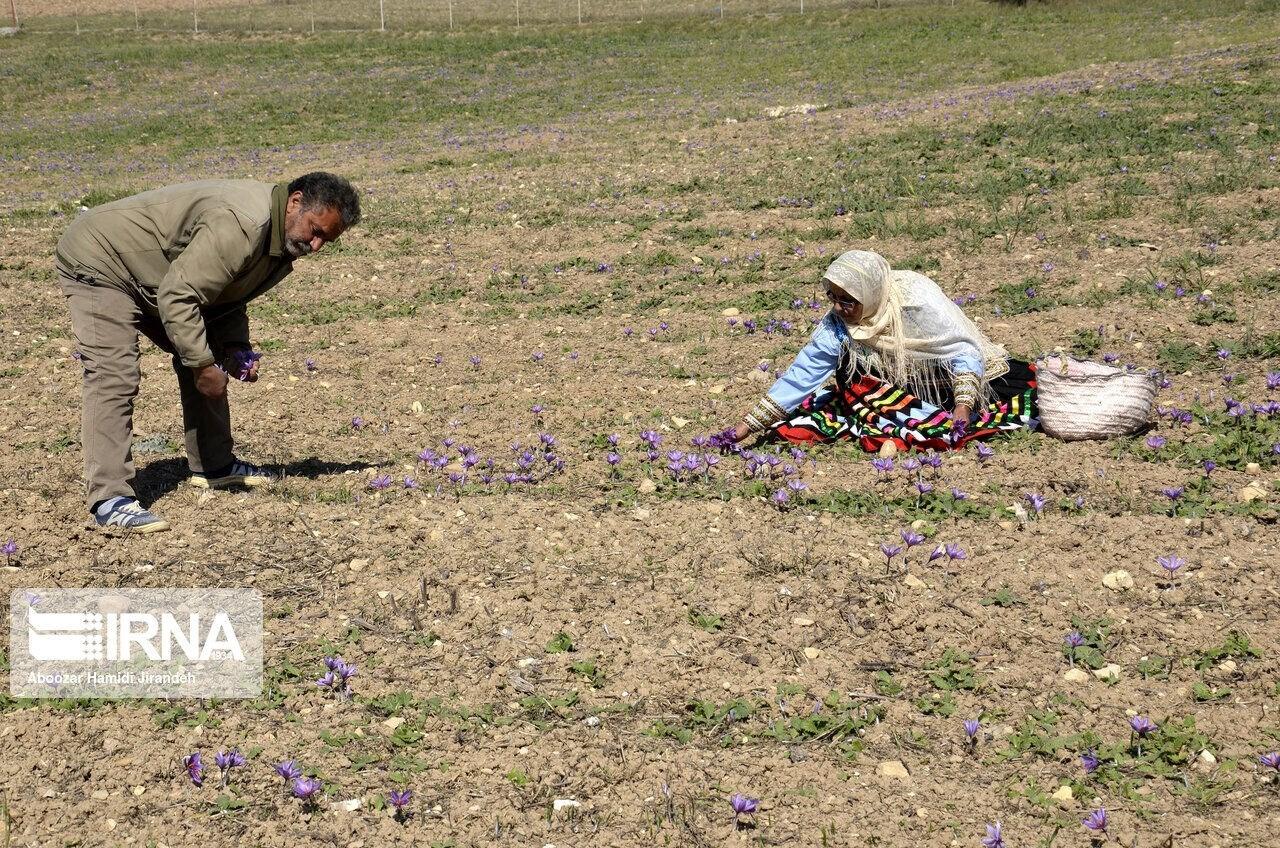 موسم حصاد الزعفران في إيران (ارنا)