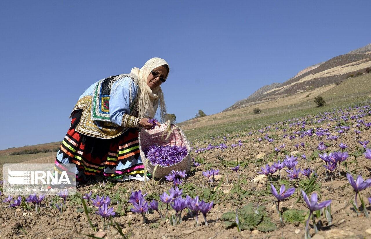 ينتج كل هكتار من الأرض المزروعة بزهور الزعفران ما يعادل 4 كيلوغرام فقط من الزعفران (ارنا)