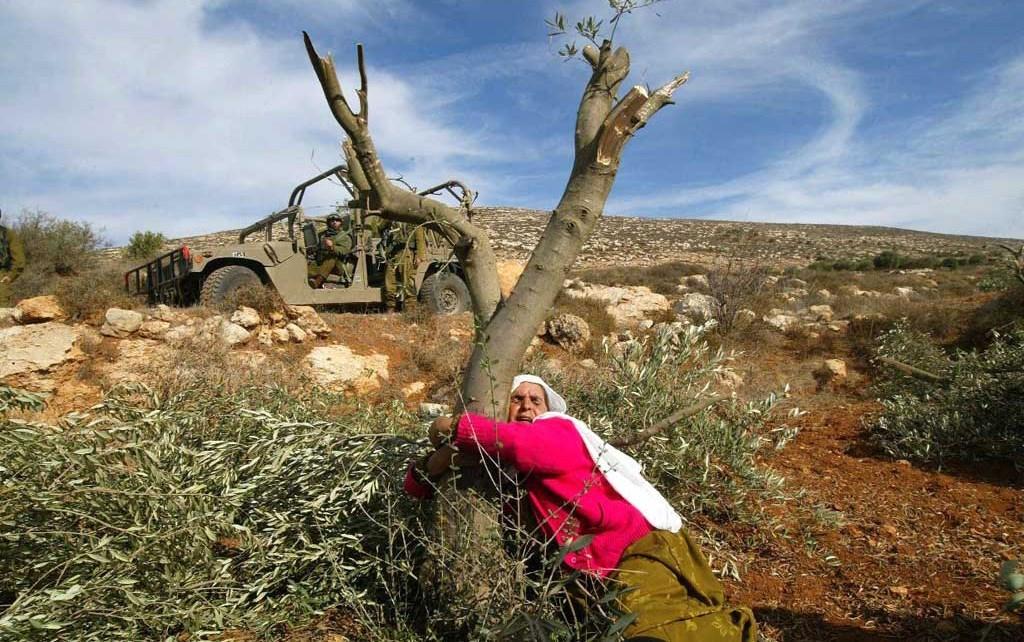 سيدة فلسطينية تحتضن شجرة الزيتون