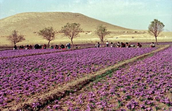 زراعة الزعفران في خراسان.