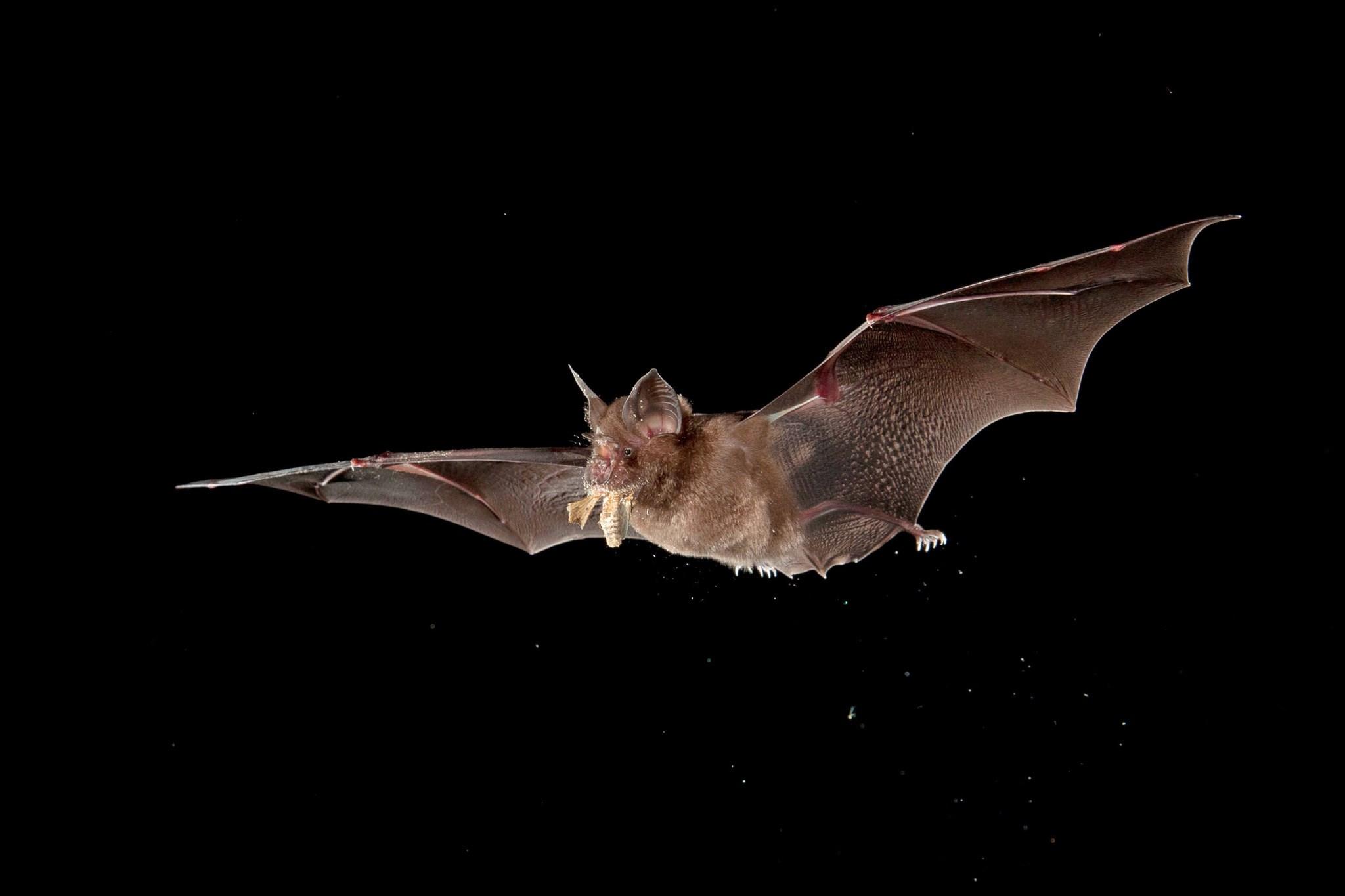 خفاش صيني (science source)