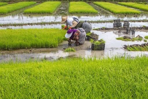 متوسط مساحة الأرز المزروعة هذا العام كان 800 الف هكتار