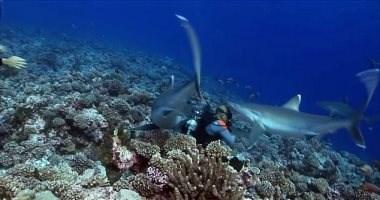 (فيديو) مشهد يحبس الأنفاس بين أسماك القرش وغواصين