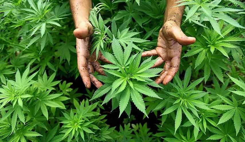 """بين التجارة والاستعمال الطبي.. ماذا تعرف عن """"زراعة الحشيش"""" في لبنان؟"""