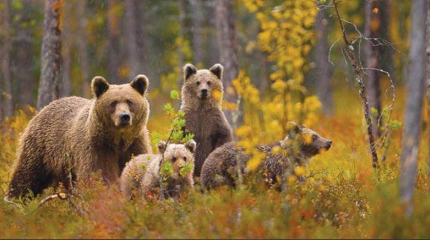لزم الأهالي منازلهم بسبب كورونا... فما علاقة الدببة؟