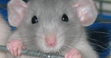 الفئران استفادت من البشر لغزو العالم!