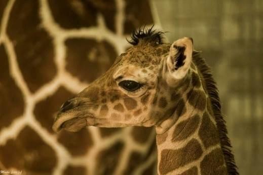 """إطلاق إسم """"كورونا"""" على زرافة ولدت بحديقة حيوانات في بالي"""