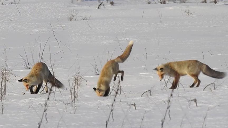 تعد قدرة الثعلب على العثور على الطعام أحد الأسباب وراء شهرته