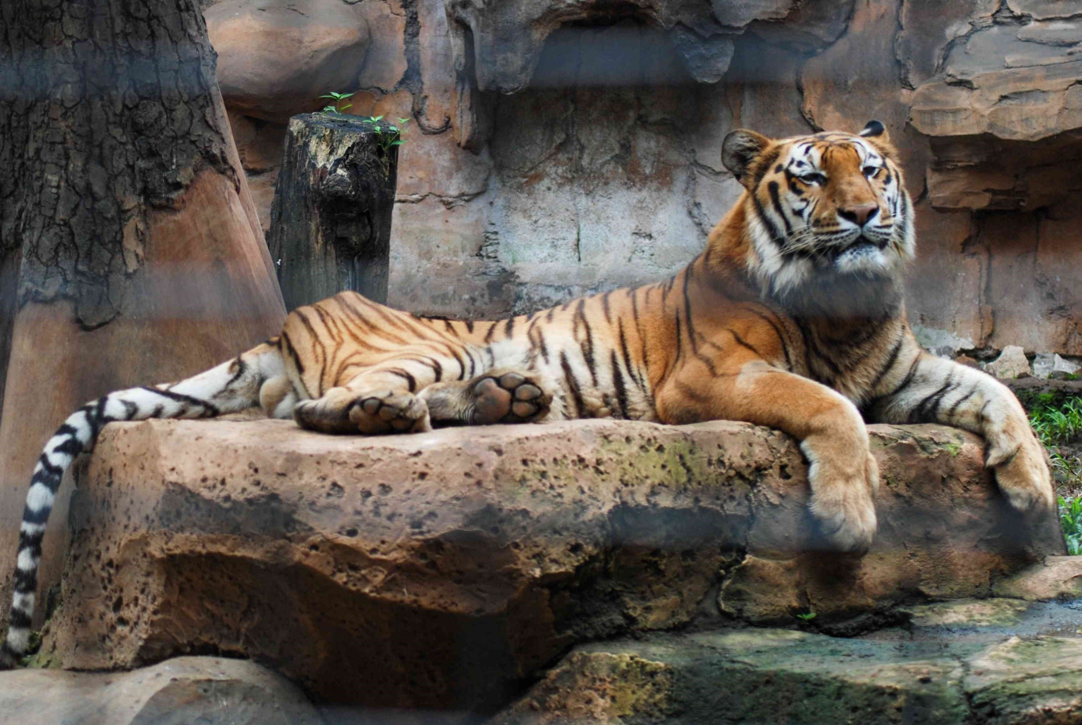 The animals may have contracted Coronavirus from a zoo guard who had the disease without showing any symptoms.